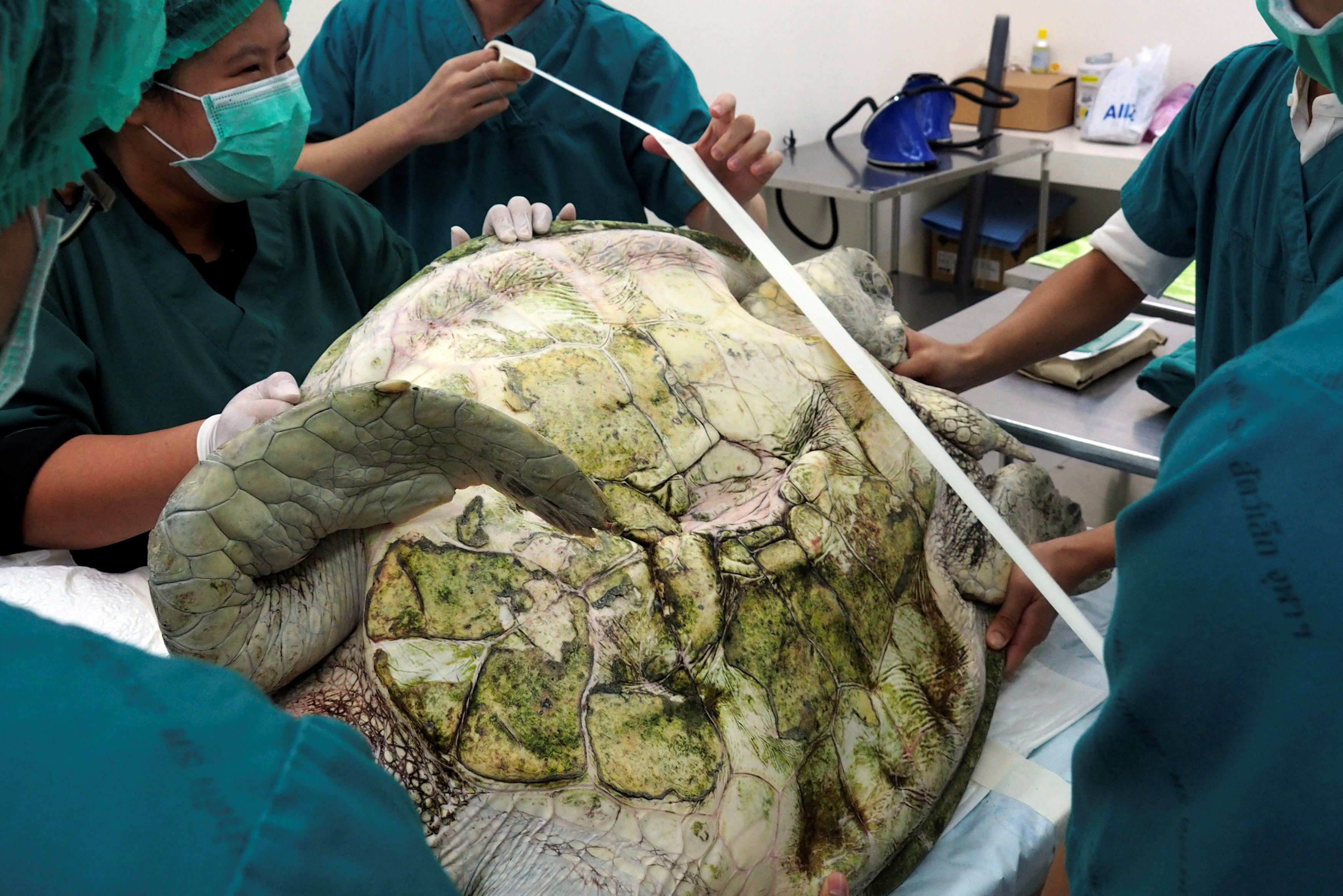 Thai veterinarians prepare to operate on Omsin, a 25 year old femal green sea turtle, to remove coins from her stomach at the Faculty of Veterinary Science, Chulalongkorn University in Bangkok, Thailand March 6, 2017. The Faculty of Veterinary Science, Chulalongkorn University/Handout via REUTERS