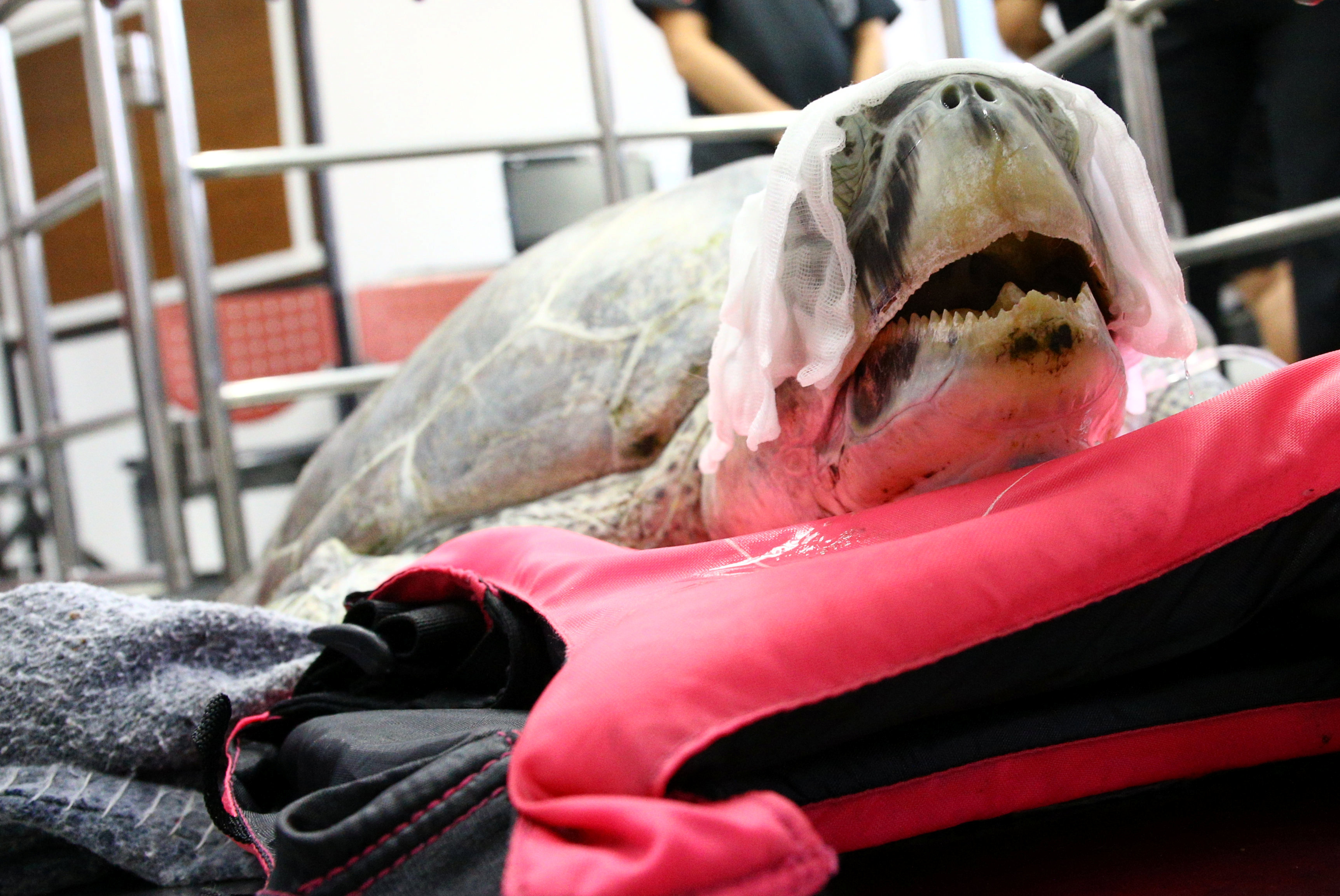 Omsin, a 25 year old femal green sea turtle, rests after a surgical operation to remove coins from her stomach at the Faculty of Veterinary Science, Chulalongkorn University in Bangkok, Thailand March 6, 2017. REUTERS/Athit Perawongmetha