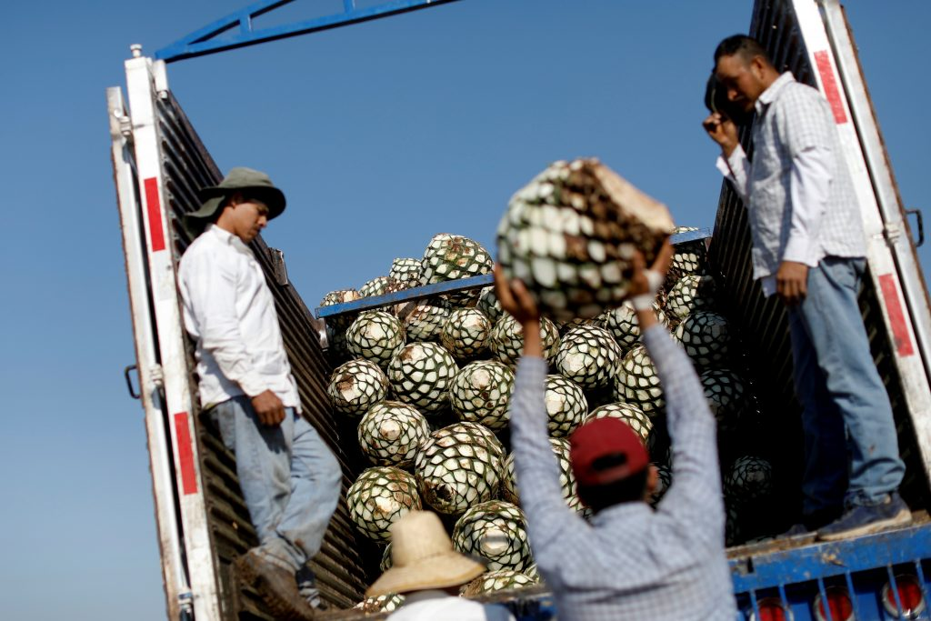 Farmers, also known as jimadores, load blue agave hearts onto a truck after a harvest on a plantation in Tequila, Jalisco, Mexico, April 13, 2018. REUTERS/Carlos Jasso/Files