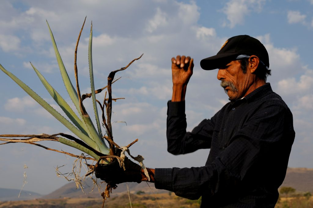 Farmer, Efrain Sanchez, 60, looks at a baby blue agave which will be replanted in another plantation to give it more room to grow, in Tepatitlan, Jalisco, Mexico, April 10, 2018. REUTERS/Carlos Jasso/Files
